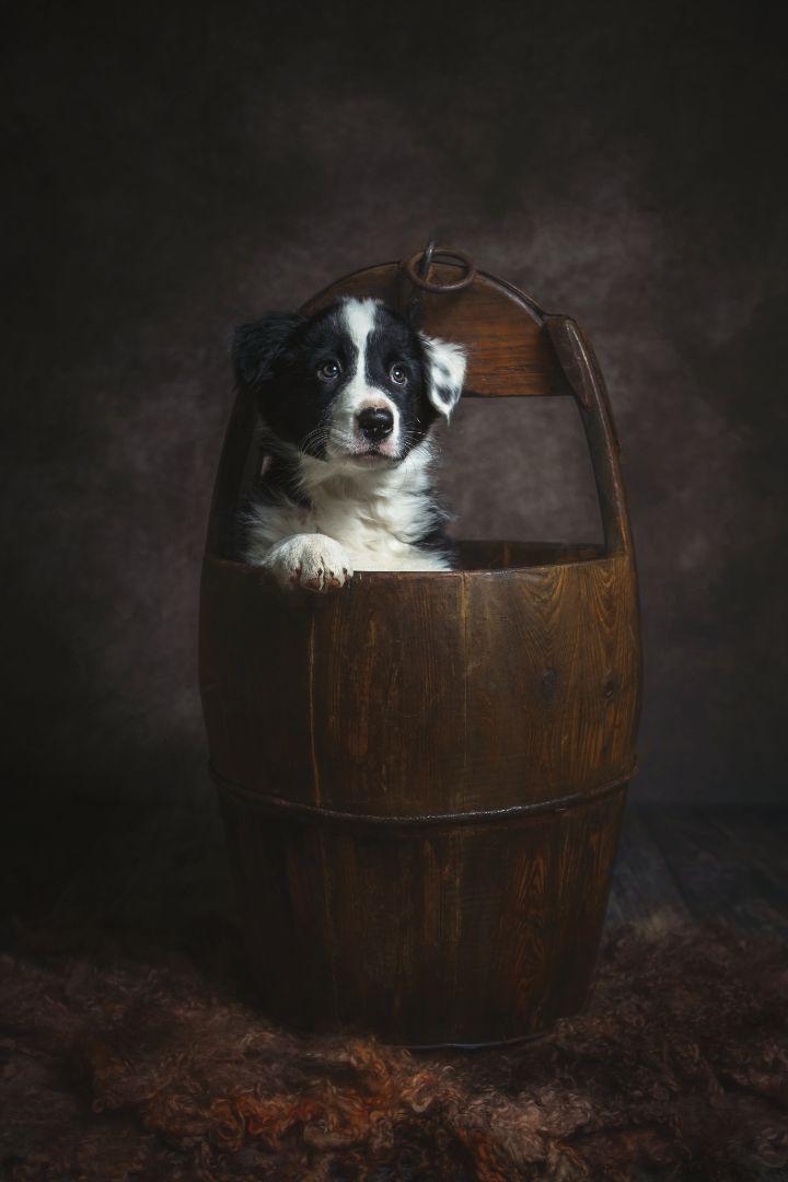 Dog breed - Dog