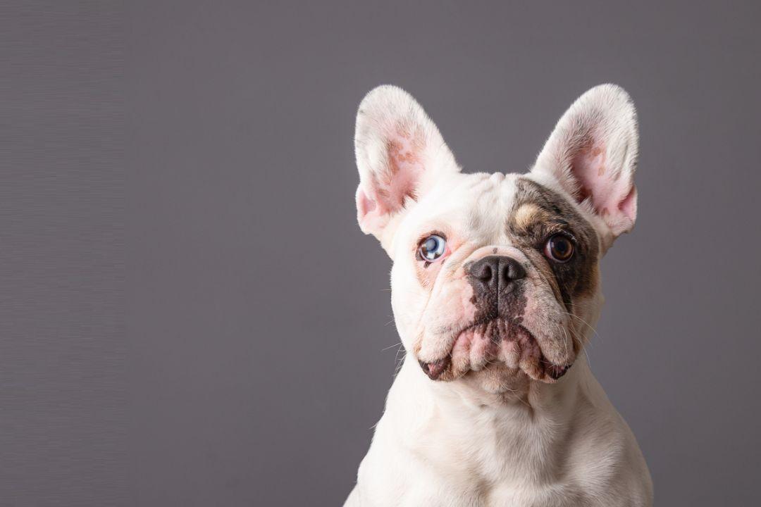 Bulldog - French Bulldog
