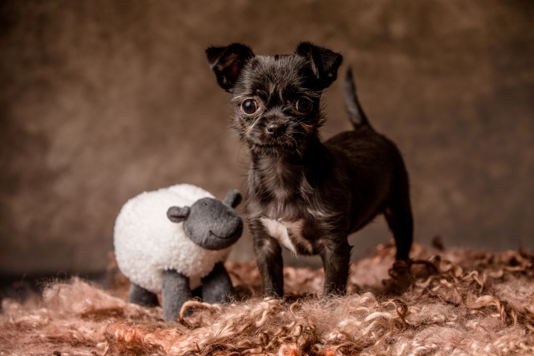 Dog - Dog breed