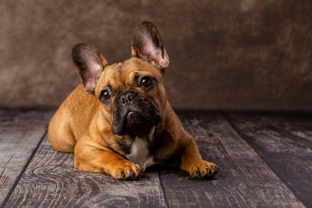 French Bulldog - Bulldog