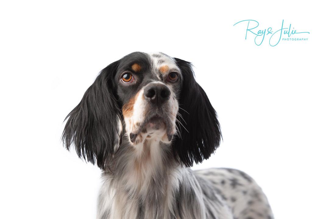English Setter - Dog breed - pet photography