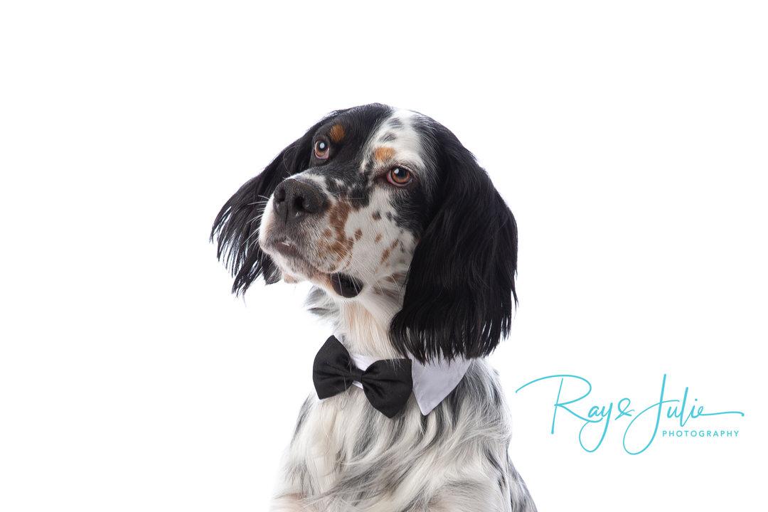 English Springer Spaniel - English Setter- Pet - portrait - studio - photography - Yorkshire - Hull