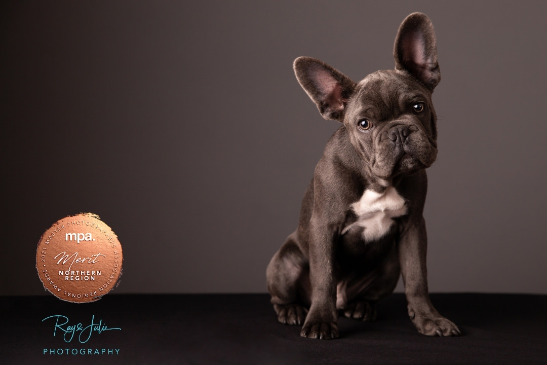 Award winning French Bulldog Yorkshire studio photographers, Ray and Julie Photography